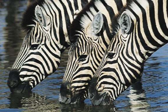 HORSES IN ZEBRA CLOTHING – COULD THIS BE THE NEW FLY CONTROL MECHANISM?